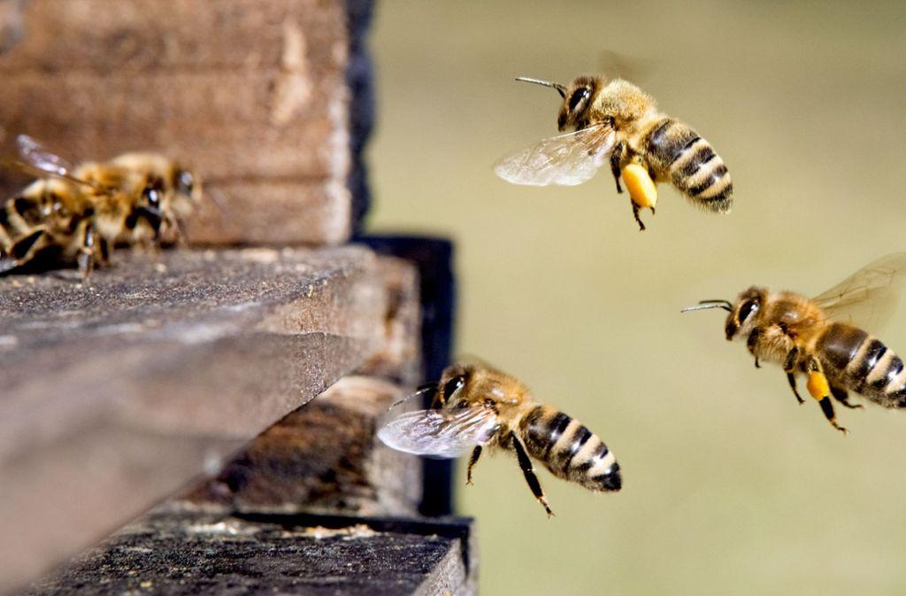 Beim Volksbegehren sind Honigbienen die Sympathieträger – aber es geht insgesamt um mehr Artenschutz. Foto: stock.adobe.com/C. Schuessler