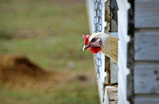 So leben Hühner