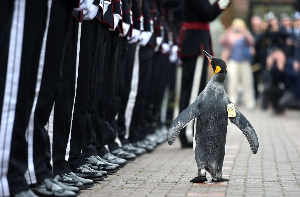 Der Pinguin namens Sir Nils Olav wurde zum Brigadegeneral befördert. Foto: AFP