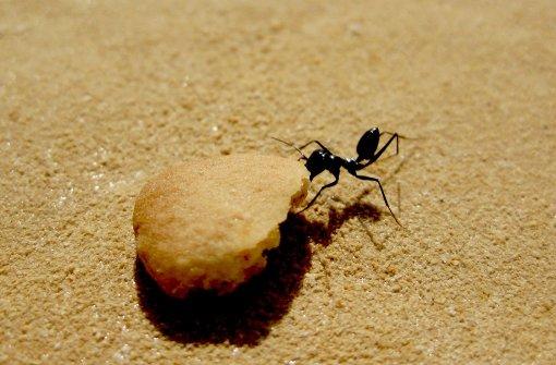 Ameisen im Rückwärtsgang