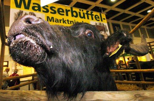 Ausgebüxter Wasserbüffel erschossen