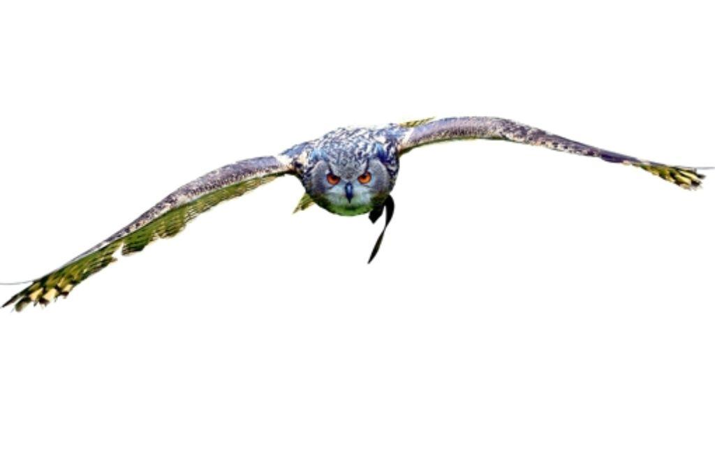 Bis zu 1,80 Metern Spannweite messen die Flügel des Uhus. Foto: dpa