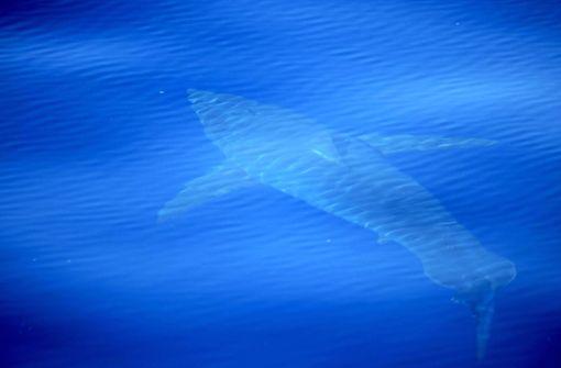 Surfer wird nach Hai-Attacke  vermisst