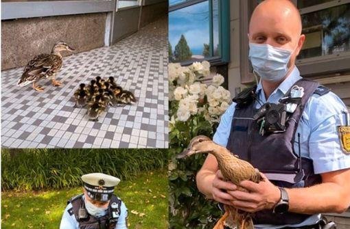 Mama-Ente und acht Küken verirren sich in der City