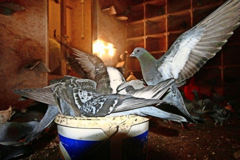 Die Taubenschläge in der Leonhardskirche werden problemlos betrieben. Im Rathaus verhindert dagegen die Furcht vorm Federvieh weitere Standorte. Foto: red