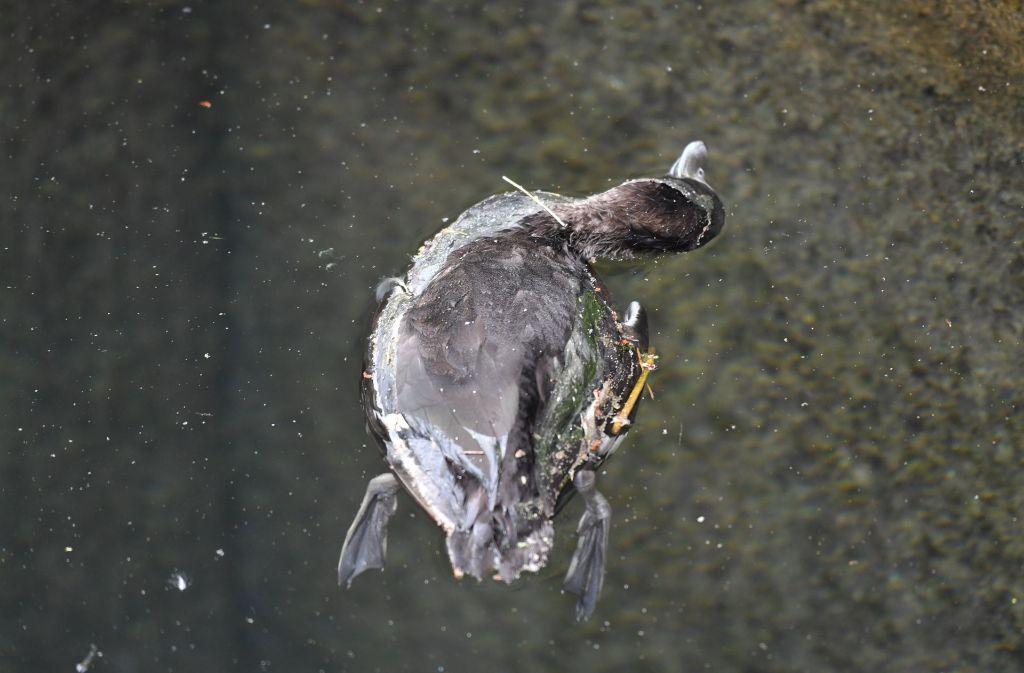 Reiherenten am Bodensee sterben an einer gefährlichen Form der Vogelgrippe Foto: dpa