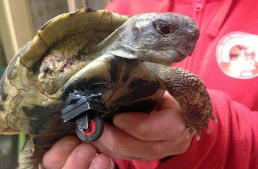 Schildkröte sorgt mit Lego-Prothese für Aufsehen