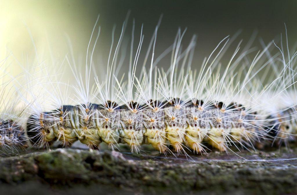 Die Härchen der Raupe des Eichenprozessionsspinners lösen Allergien aus. Foto: dpa