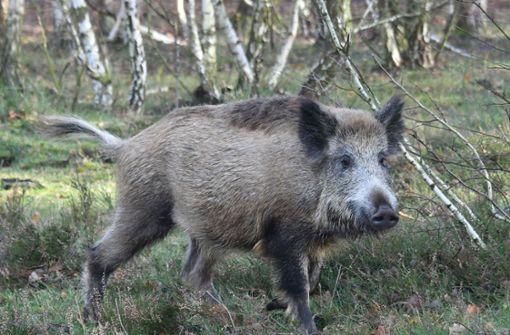 Aggressives Wildschwein verletzt Mann und Kleinkind