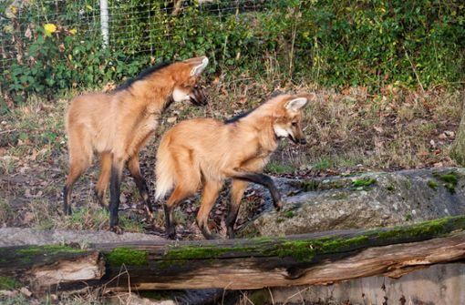 Wolfsbrüder  mit markanter Duftnote