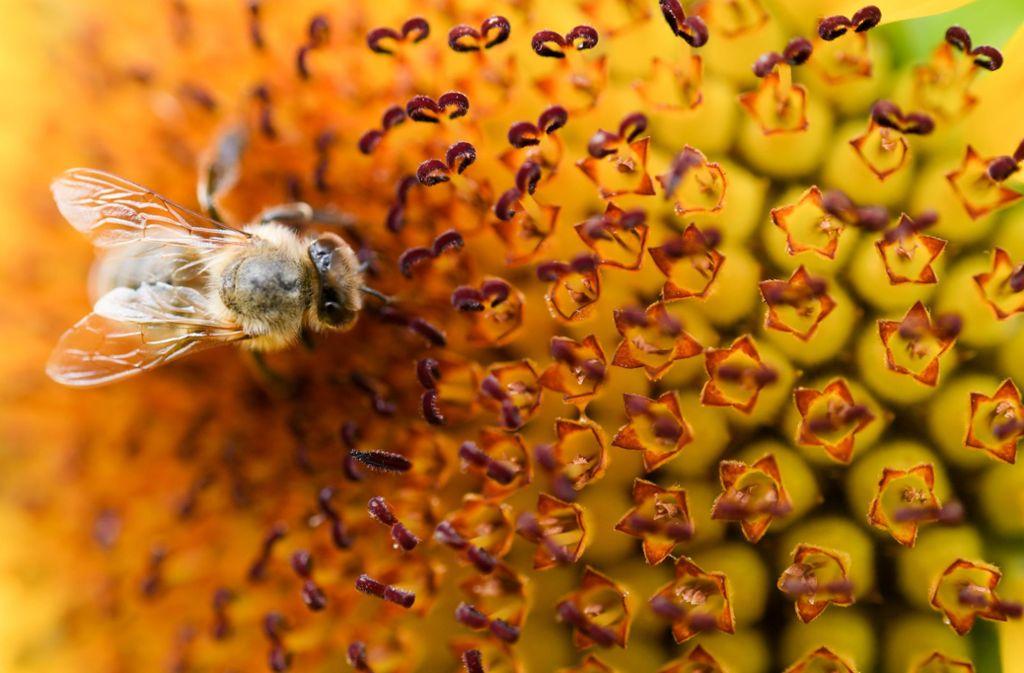 Fast 90 Prozent der Blütenpflanzen sind zur Vermehrung auf Bestäuber wie Honigbiene, Hummeln, Käfer und Schmetterlinge angewiesen. Die Ernteerträge würden massiv einbrechen, würden Bienen nicht mehr auf der Suche nach Nektar und Pollen die Blüten bestäuben. Foto: dpa