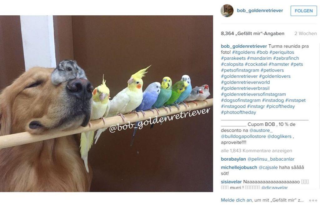 Golden Retriever Bob hat sich mit Vögeln und einem Hamster angefreundet. Foto: Screenshot Redaktion