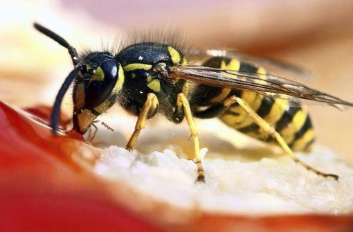 Wespenbekämpfung ist Expertensache