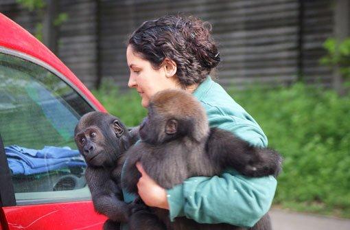 Gorilla-Kinder ziehen mit dem Auto um