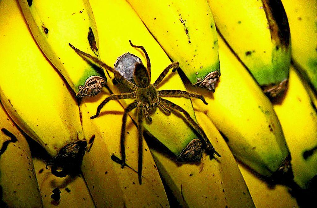Bananenspinnen sind hochgiftig. Die Marktleitung befürchtete, eine solche Spinne im Markt zu haben. Der  Discounter in Schwieberdingen öffnete für die Kunden erst Stunden später. Foto: dpa