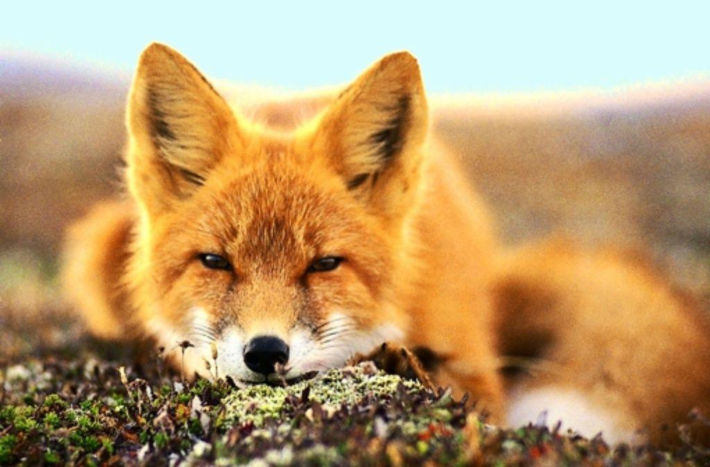 Der Fuchs gilt als schlau und bequem sowie als Überträger der Staupe. Foto: AP/Archiv