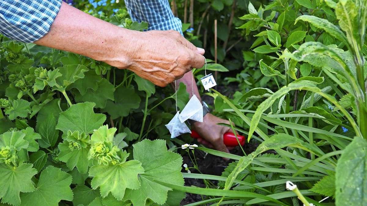 Mithilfe von genormten Teebeuteln, die für drei Monate im Boden vergraben werden,  erforschen die Teilnehmenden den Bodenzustand. Foto: Frank Wahlenmaier