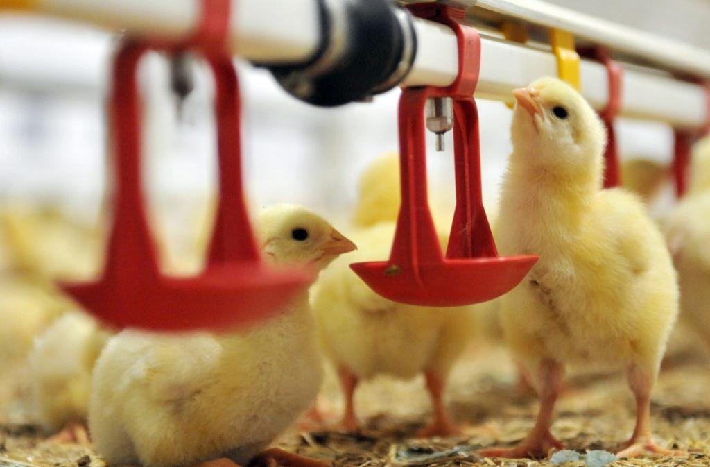 Geflügelmast in Norddeutschland. Dort liegen die großen Verarbeitungszentren für Fleisch. Foto: dpa