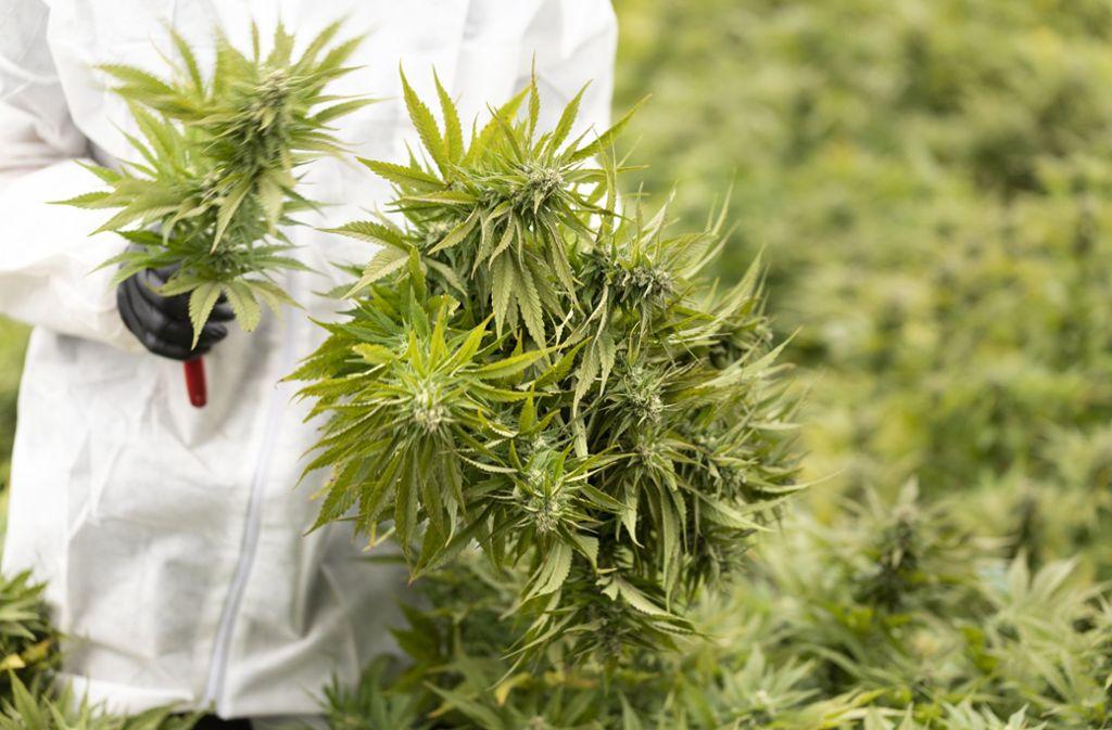 THC kommt in Cannabis vor (Symbolbild). Foto: KEYSTONE