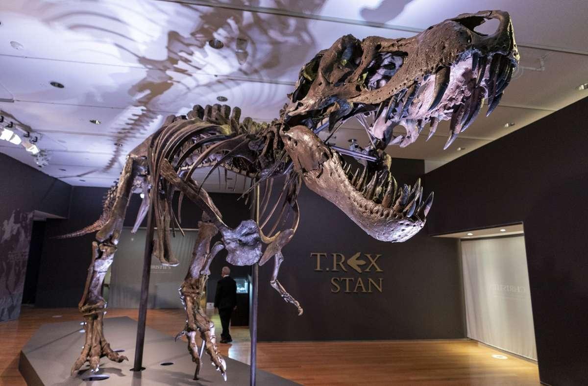 """""""Stan"""", eines der größten und vollständigsten Fossilien des Tyrannosaurus Rex, das entdeckt wurde, ist im Auktionshaus Christie's zu sehen. Foto: Mary Altaffer/AP/dpa"""
