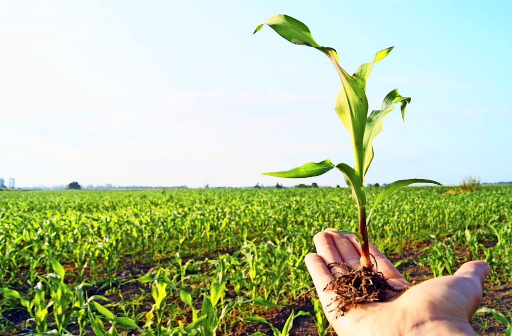 Mais gehört zu den Pflanzen, die in den USA sowie in vielen Ländern  Südamerikas häufig genetisch verändert werden. In Deutschland ist ihr Anbau noch nicht erlaubt. Foto: PhotographyByMK/AdobeStock