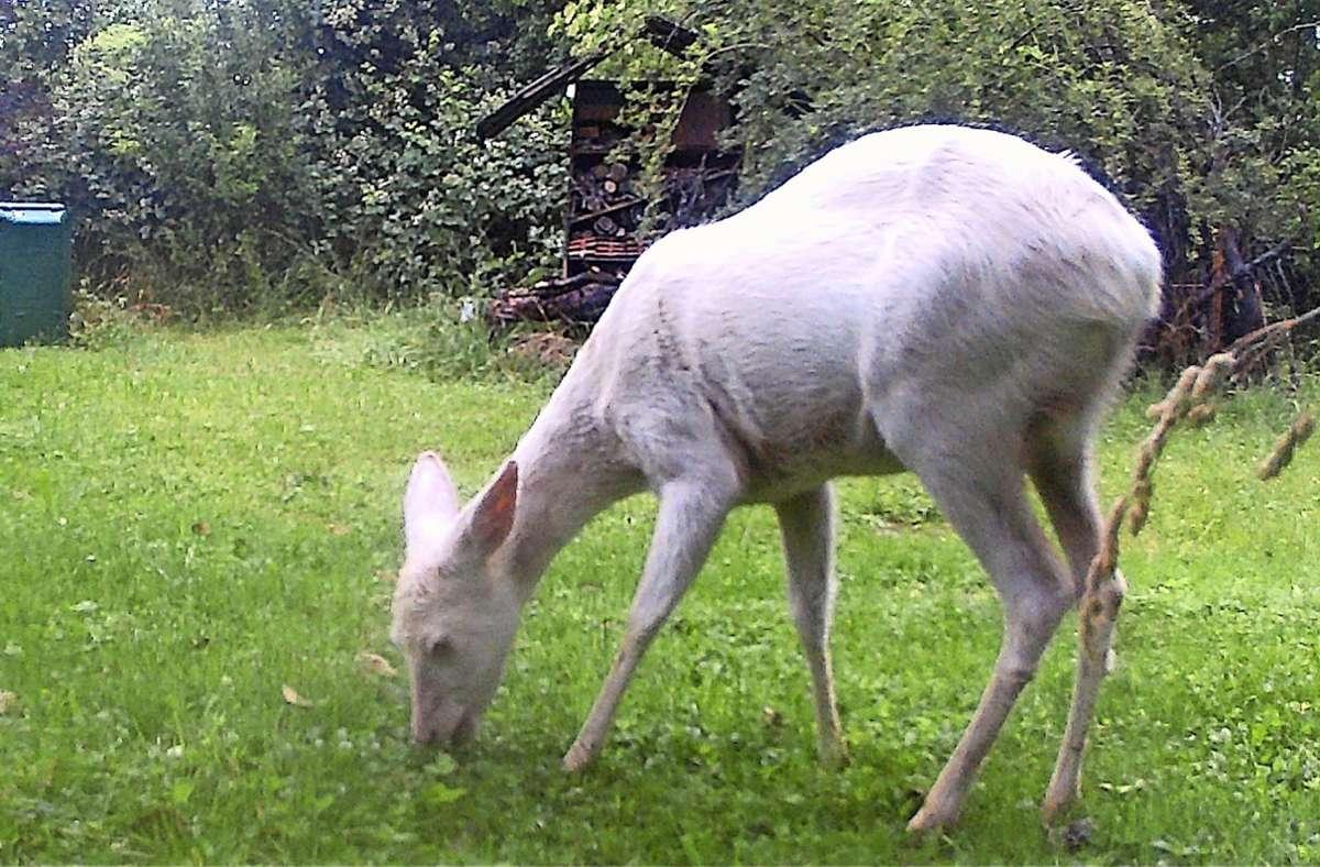 Glückstreffer: Das weiße Reh äst vor der Kamera. Foto: Hubert Gänser-Hampp