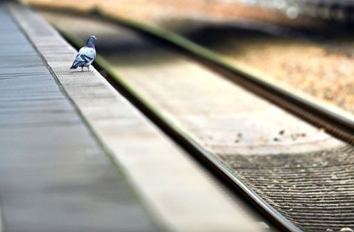 Junge Vögel laufen Gefahr,  auf  S-Bahngleise zu fallen