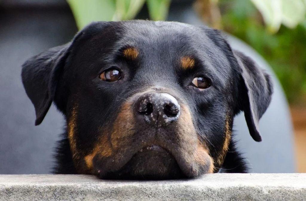 Bei der Erwähnung eines Rottweilers machen viele Vermieter die Schotten dicht. Foto: pixabay/PublicDomainPictures