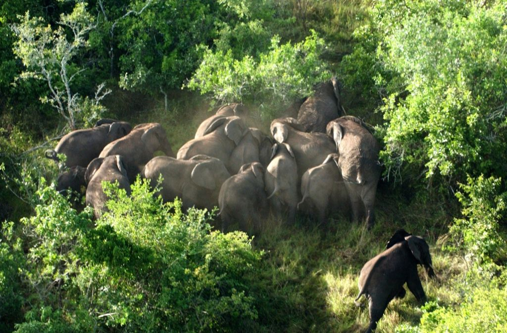 Eine groß angelegte Zählung per Flugzeug hat nun ergeben, dass es viel weniger Elefanten auf dem afrikanischen Kontinent gibt, als bisher angenommen. Foto: dpa