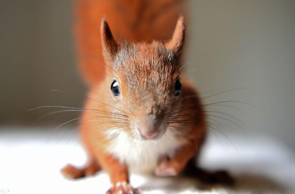 Mit großem Einsatz hat die  Dortmunder Feuerwehr einem kleinen Eichhörnchen das Leben gerettet. Foto: Britta Pedersen/ZB/dpa