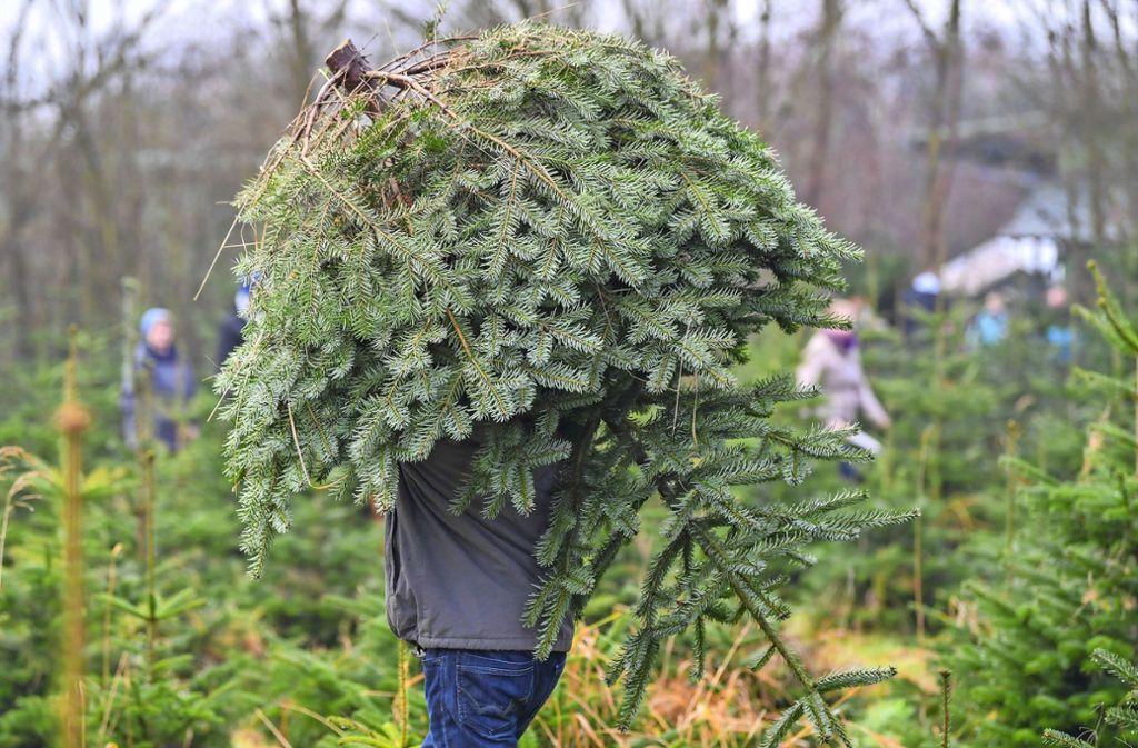 Den Weihnachtsbaum fürs Fest selber schlagen – wo das rund um Stuttgart geht. Foto: dpa/Patrick Pleul