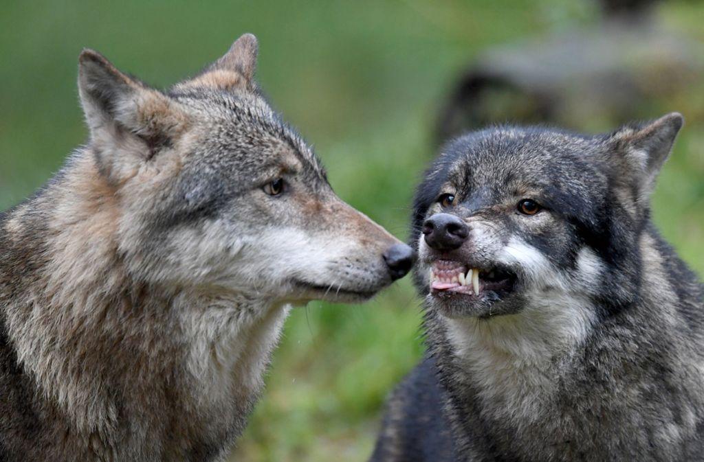 Immer öfter werden in Deutschland wieder Wölfe entdeckt. Foto: dpa
