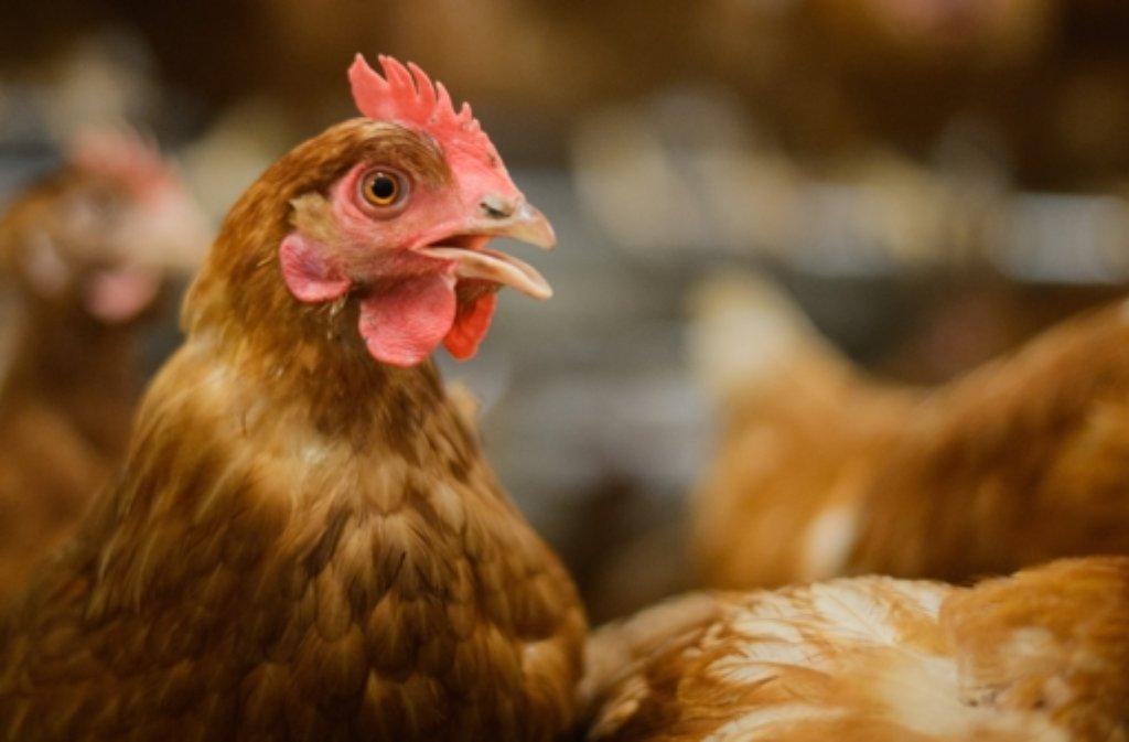 Ein Huhn, das vor neun Monaten ausgebüxt war, ist von der Polizei wiedergefunden worden. (Symbolbild) Foto: dpa