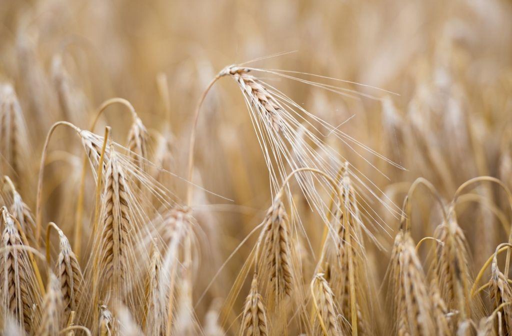 Gerste zu Beginn der Getreideernte: Die ungewöhnliche Witterung hat die Ertragsschätzungen erschwert. Foto: dpa