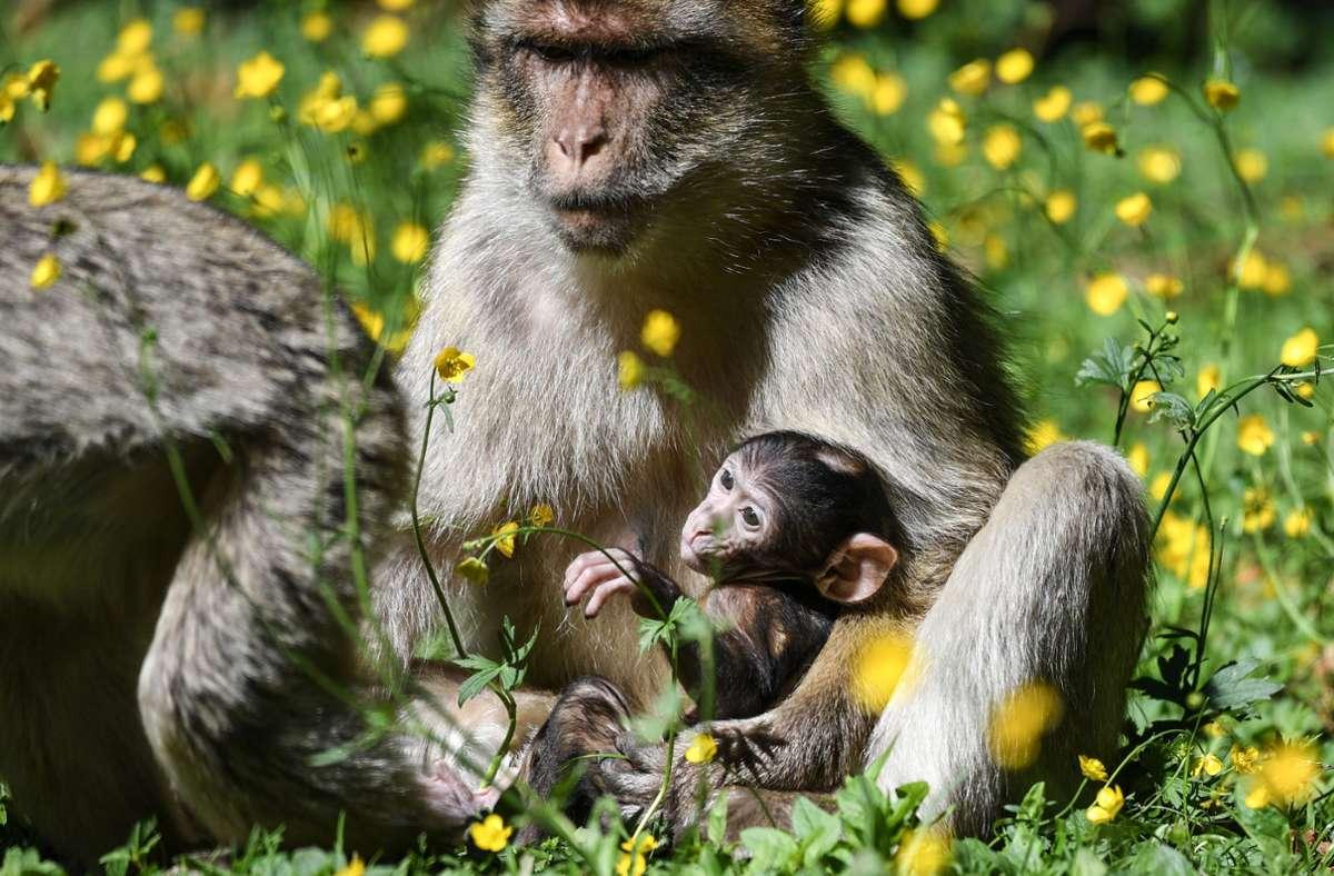 Der Nachwuchs am Affenberg Salem wird noch gut von den Eltern behütet. Foto: dpa/Felix Kästle