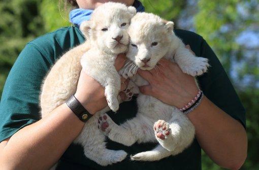 Flauschige weiße Löwenzwillinge