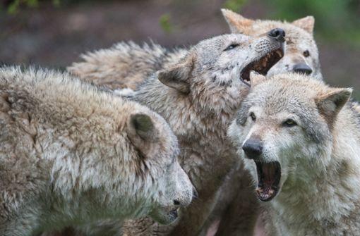 Wolf und Luchs sind wieder da - und der Bär?