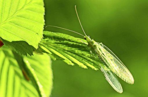 Die Fliege mit den goldenen Augen