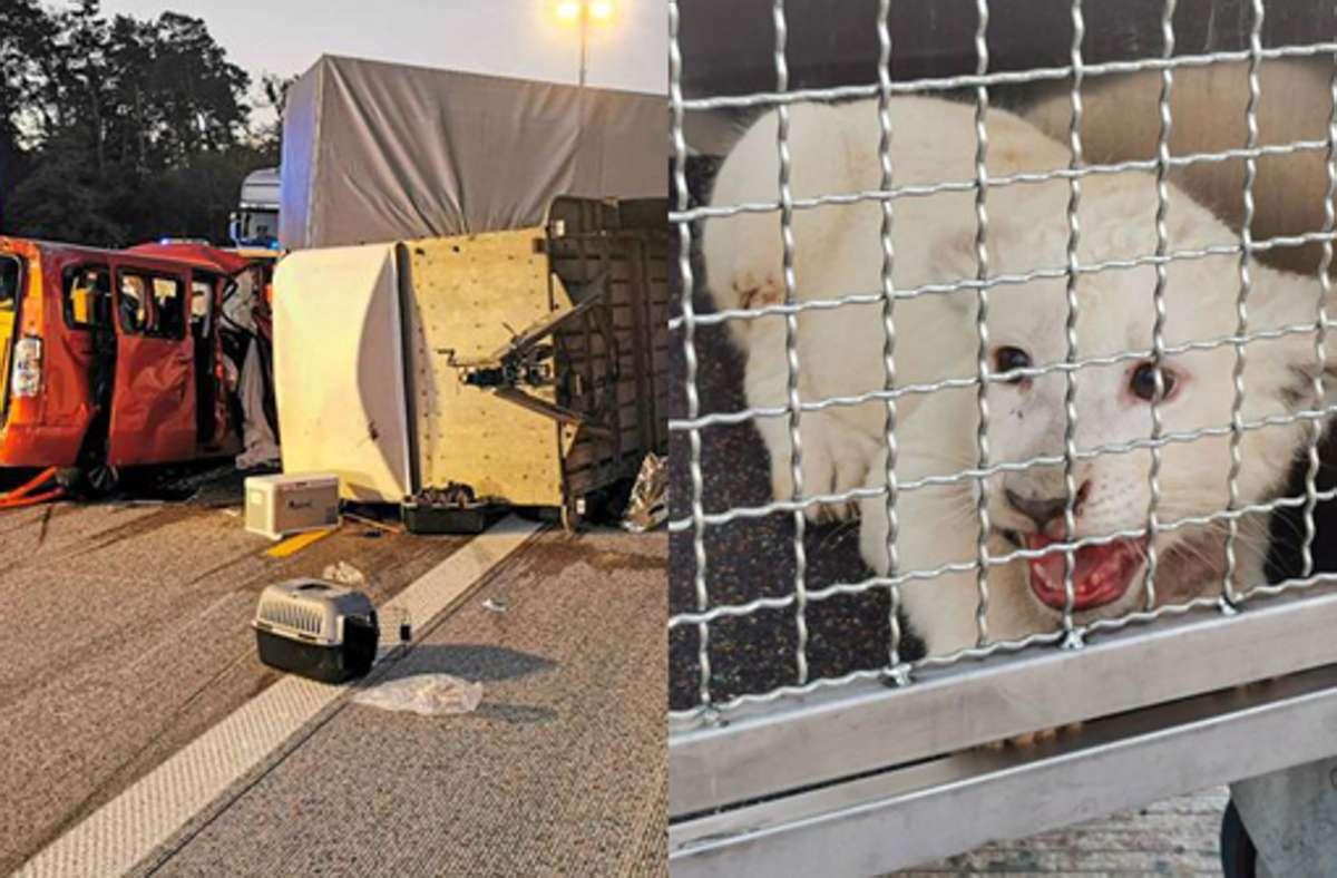 Ob das Löwenbaby rechtmäßig transportiert wurde, muss noch ermittelt werden. Foto: dpa/Julian Buchner