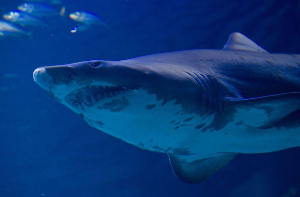 Zwei britische Urlauber wurden vor den Whitsunday-Inseln von einem Hai angegriffen. (Symbolfoto) Foto: dpa/Stefan Sauer