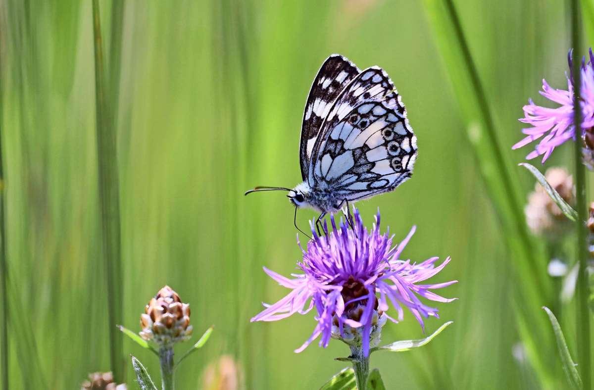 Bei den  ausgewachsenen Schachbrettfaltern stehen Flockenblumen als Nektarpflanzen besonders hoch im Kurs. Foto: Michael Eick