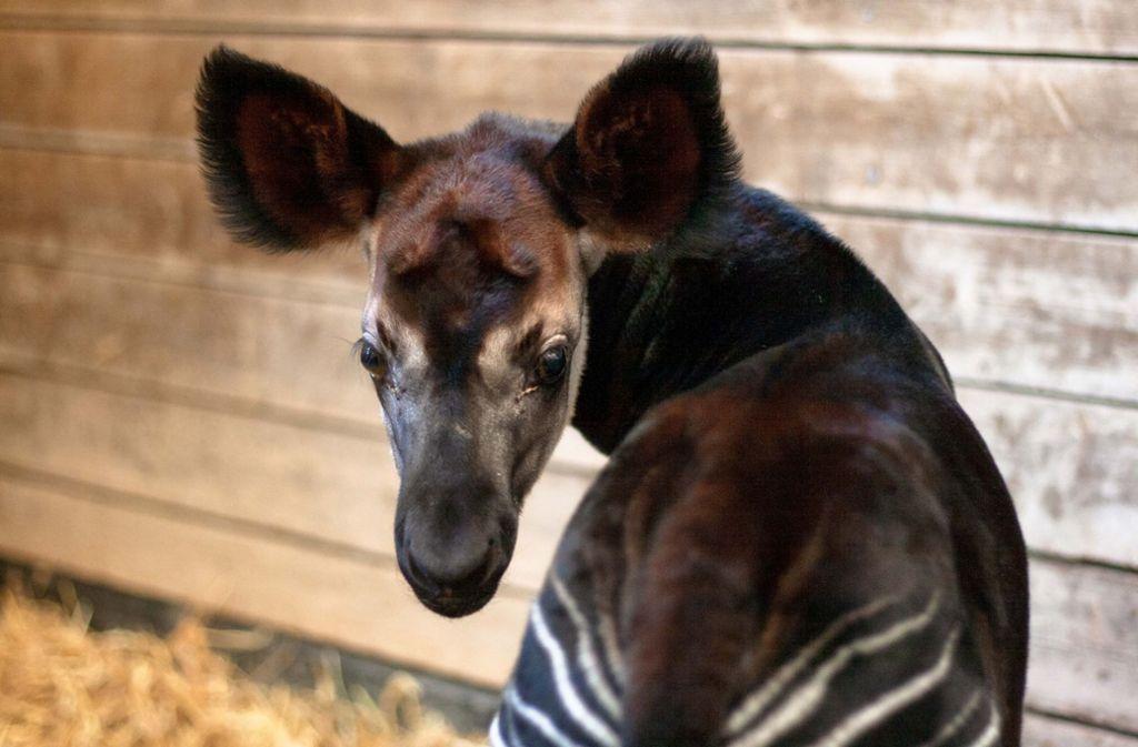 Ein kleines Okapi-Baby erblickte in der Wilhelma das Licht der Welt.  Foto: Wilhelma Stuttgart