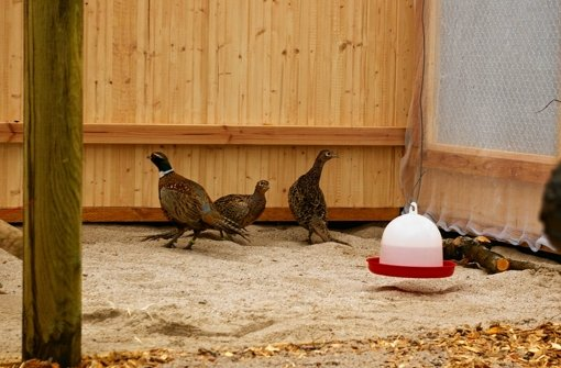 Fasane haben ihr erstes Nest gebaut