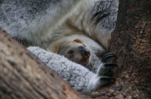 Baby-Koala im Duisburger Zoo gestorben