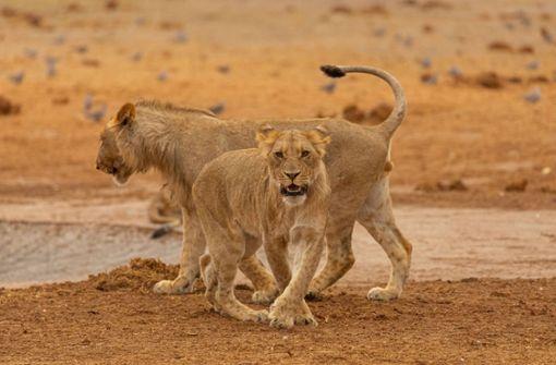 GoPro-Kamera filmt aus dem Maul einer Löwin