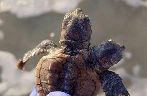 Kleine Schildkröte mit zwei Köpfen gefunden