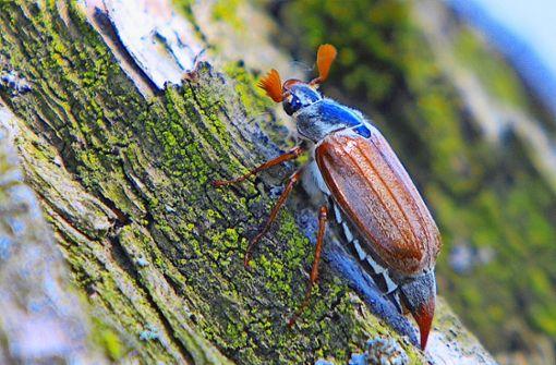 Ein verheerender Schädling wird zur Rarität