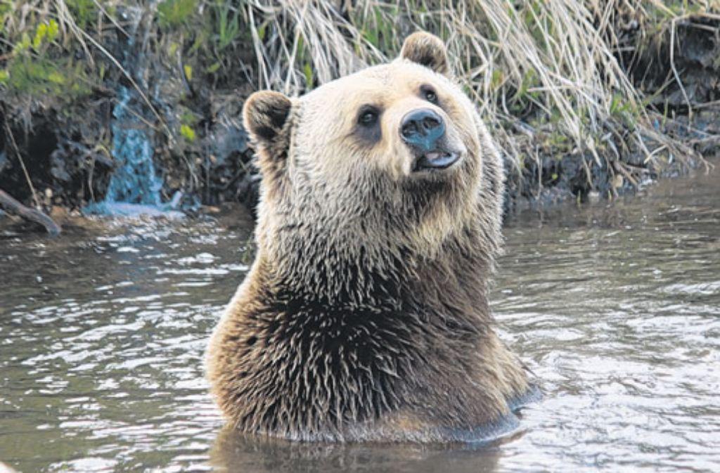 Eigentlich mag er vor allem Gras. Zu nahe sollten Touristen einem badenden Grizzly trotzdem nicht kommen. Foto: Willenberg