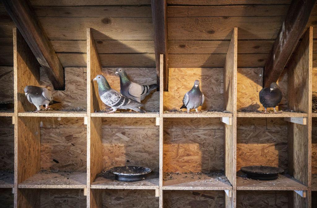 Die Verwaltung in Weissach glaubt, dass die Tauben in anderen Gemeinden vergrämt wurden – und sich jetzt einen neuen Platz gesucht haben. Foto: Gottfried Stoppel