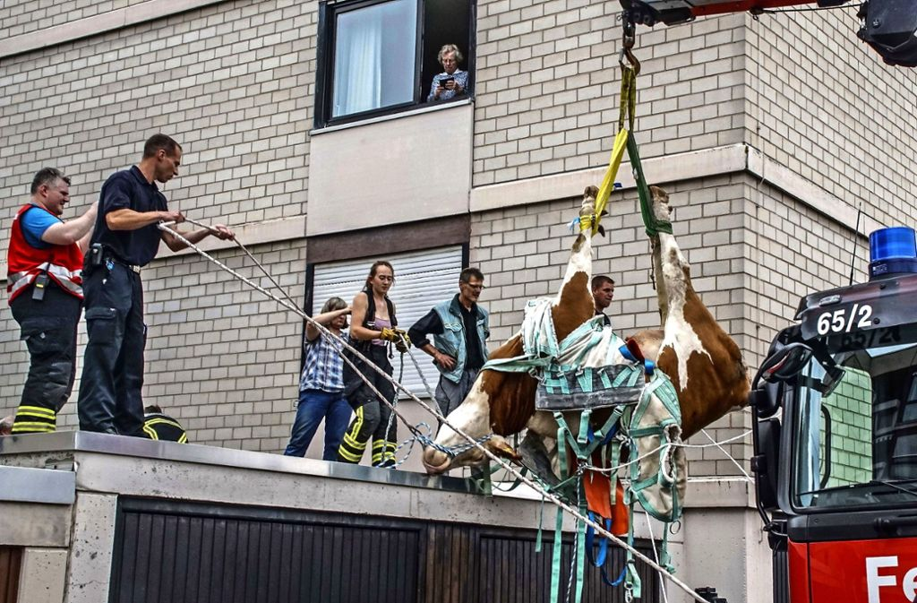 Ging viral: die Kuh vom Dach Foto: SDMG